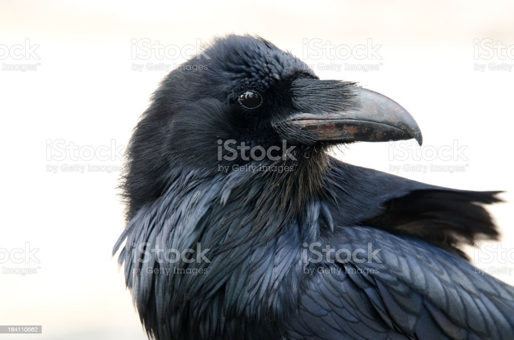 Raven Photos Istock