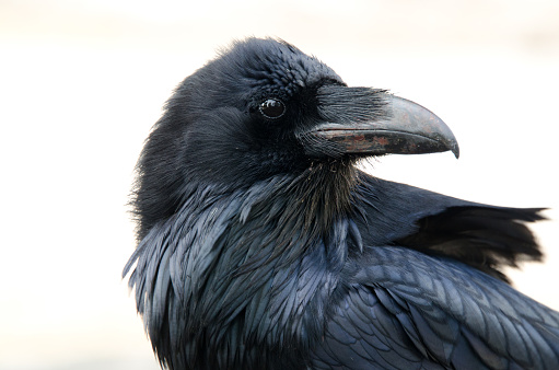 Raven  Face with white background