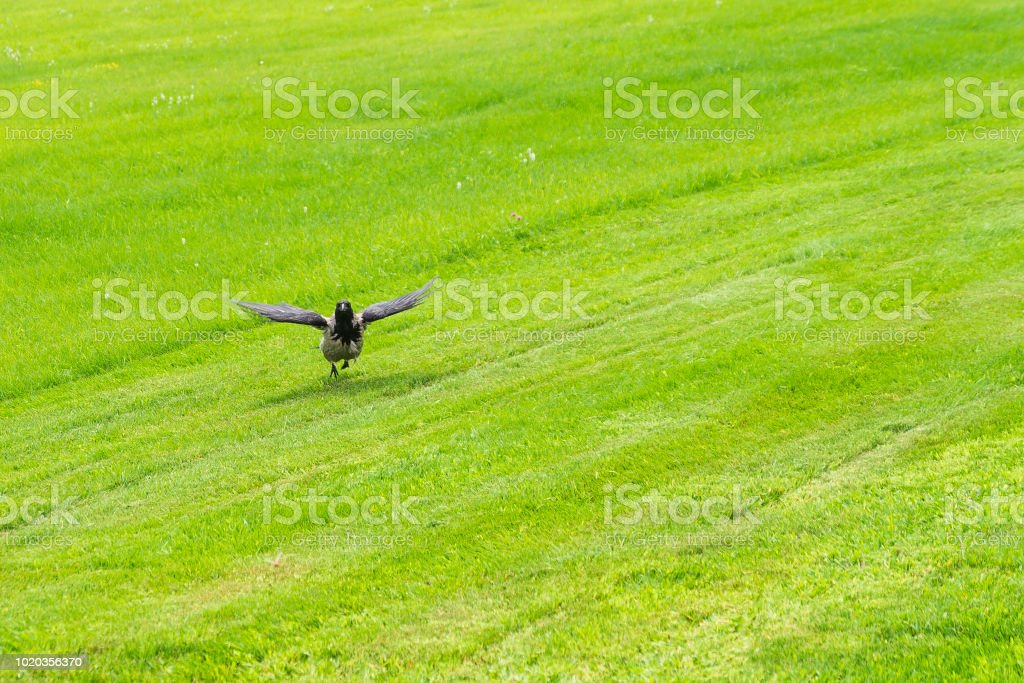 Corbeau vole vers le champ d'herbe verte par une journée ensoleillée - Photo