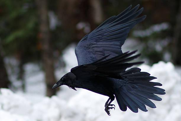 Raven flying above snow stock photo