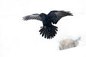Raven (Corvus corax) flying in winter snow.