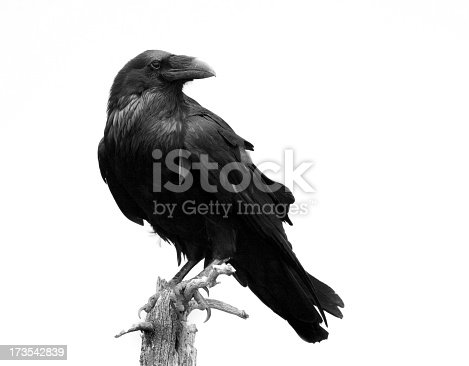 istock Raven in Black & White - Isolated 173542839