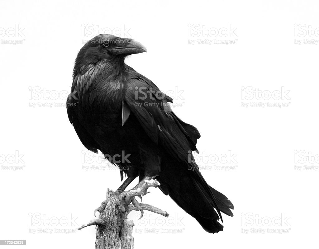 Raven in Black & White - Isolated stock photo