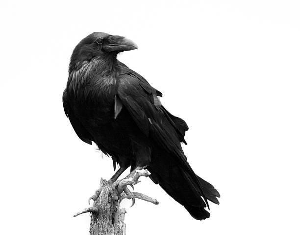 raven in black & white - isolated - bird stock photos and pictures