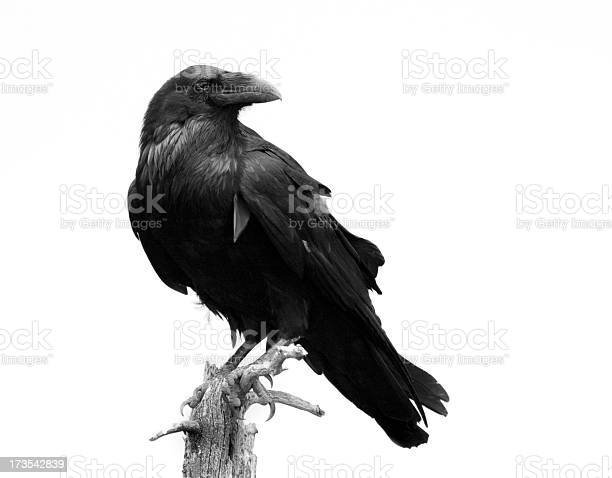 Photo of Raven in Black & White - Isolated