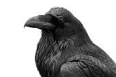 Raven in Black & White.