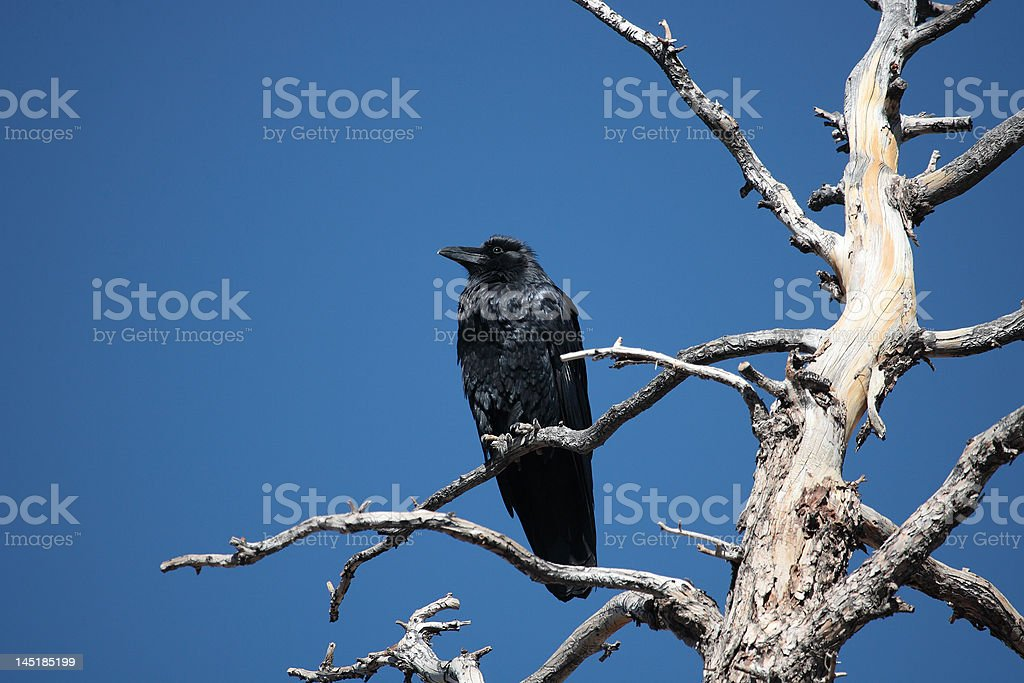 Raven in dead tree royalty-free stock photo
