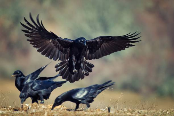 Raven (Corvus corax) in flight stock photo