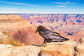 Stock photograph of a raven in Grand Canyon National Park USA on a sunny day.