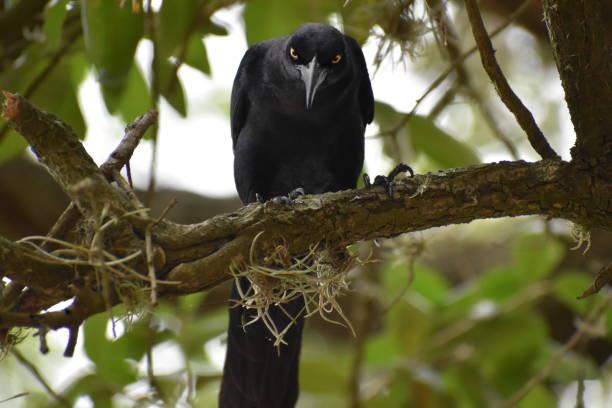 Raven in Texas stock photo