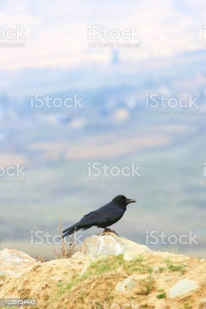Photo of Raven in the Phobjikha Valley in Bhutan