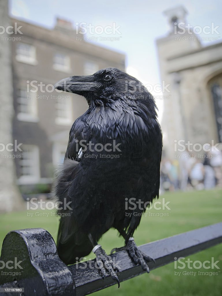 Raven in the Tower of London, UK stock photo