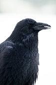 Raven (Corvus corax) Winter Portrait