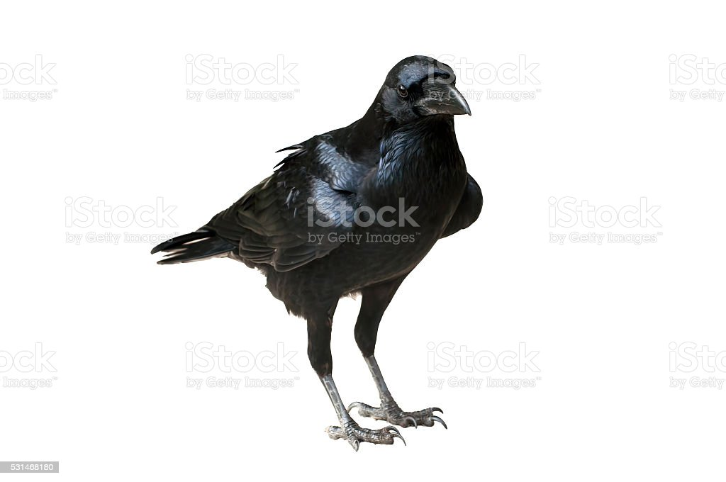 Raven Isolated - Raven standing on flat ground stock photo