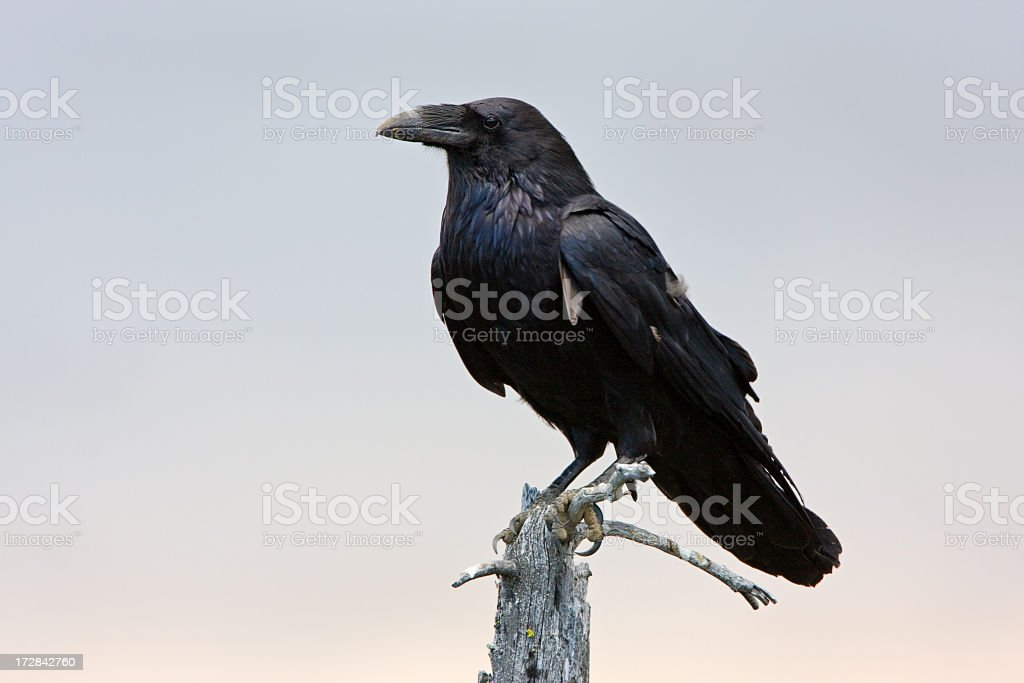Raven - Manning Park stock photo