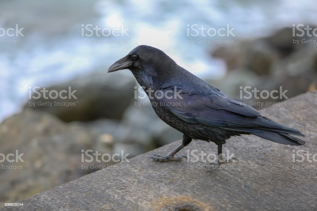 Raven on the lookout stock photo