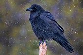Raven (Corvus corax) in winter snow