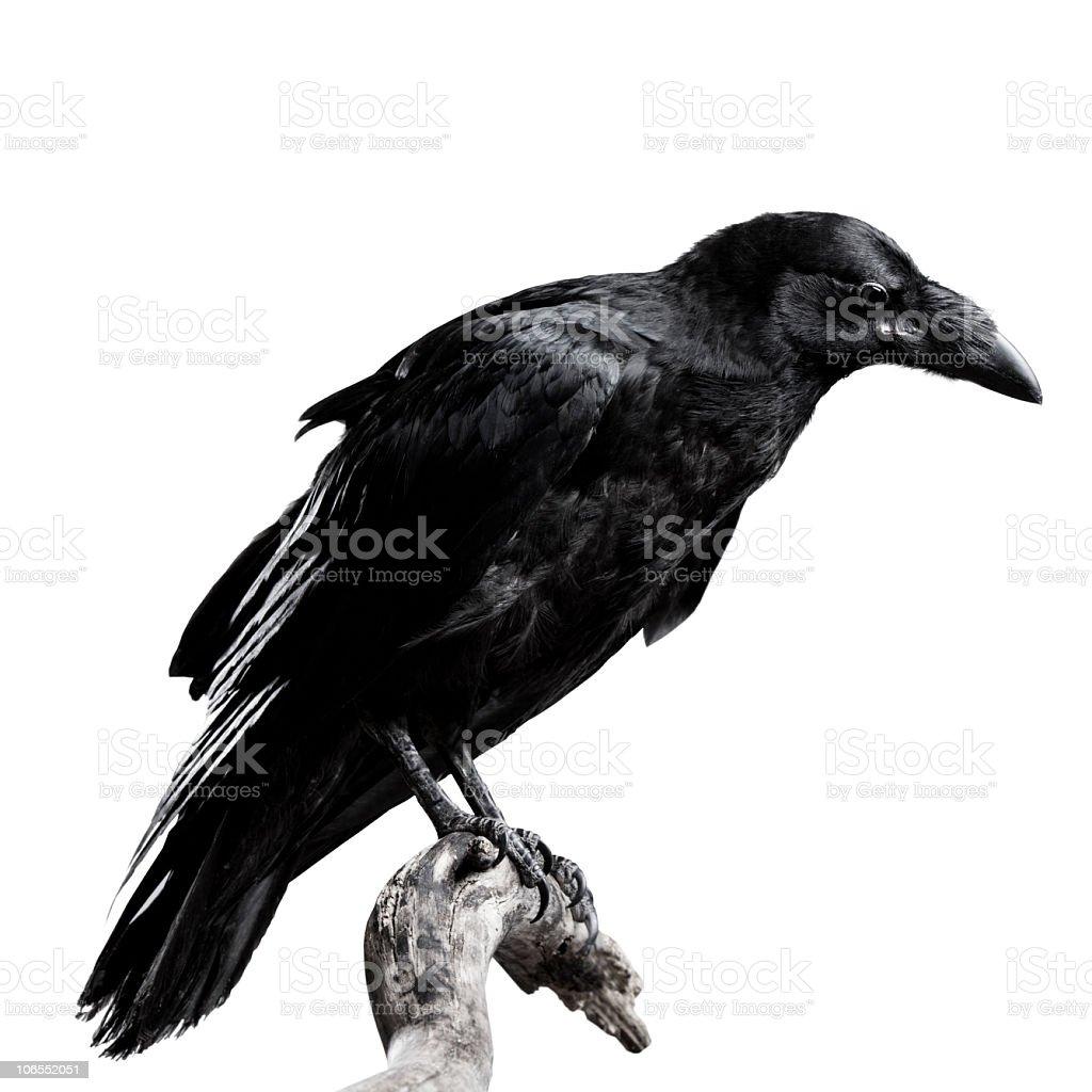 Raven Black raven isolated on white Animal Stock Photo