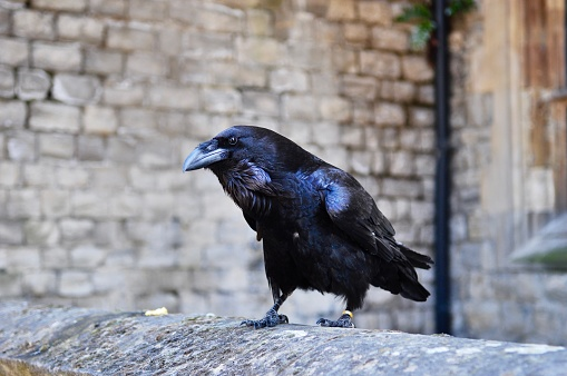Raven Stock Photo - Download Image Now