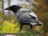 Un corbeau en automne