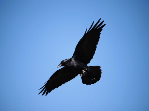 A black raven during the flight. frozen motion