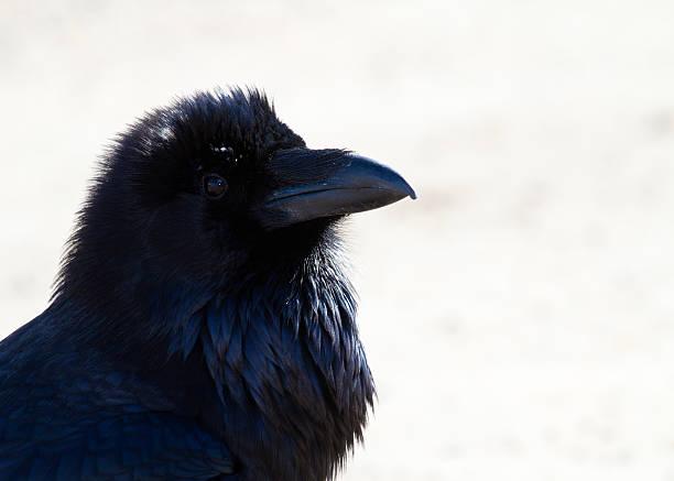 Raven Portrait stock photo