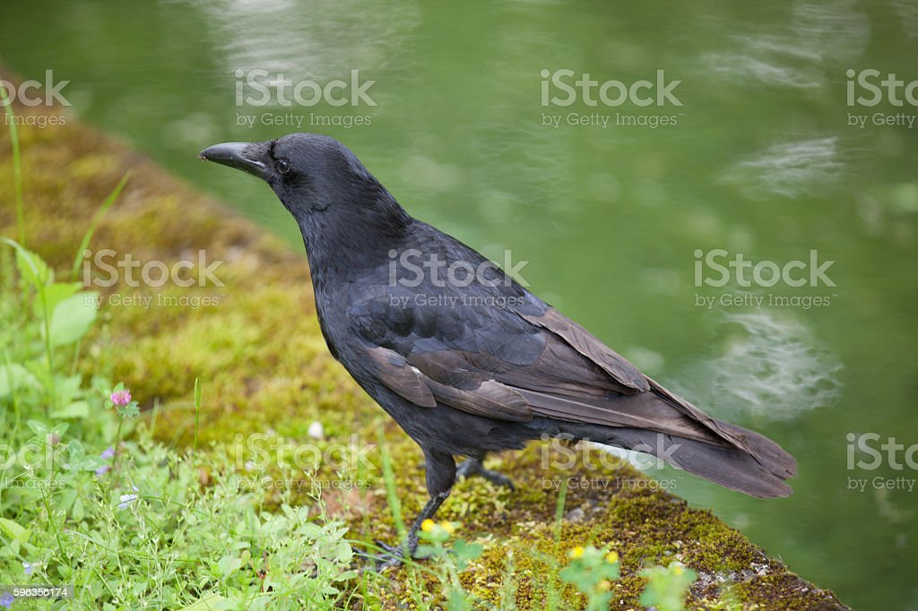 Raven standing near water royalty-free stock photo