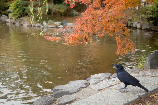 Raven under red Japanese maple leaves