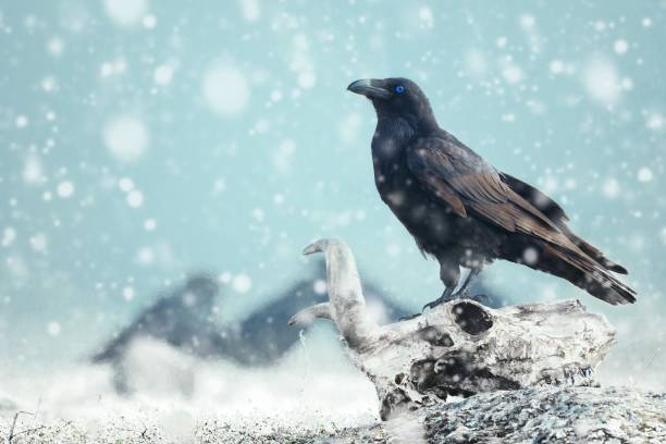 Raven with blue eye sitting on a skull on the snow. Stylized photography stock photo
