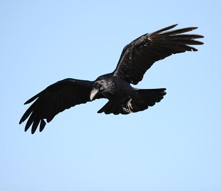 Raven in flight.