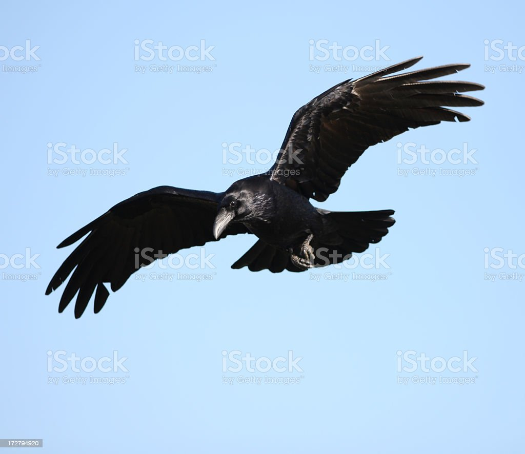 Raven with open wings flying on blue sky stock photo