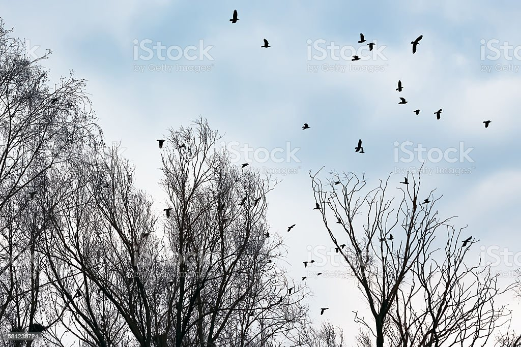 Ravens and crows among the bare trees stock photo