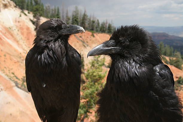 Ravens at Bryce Canyon