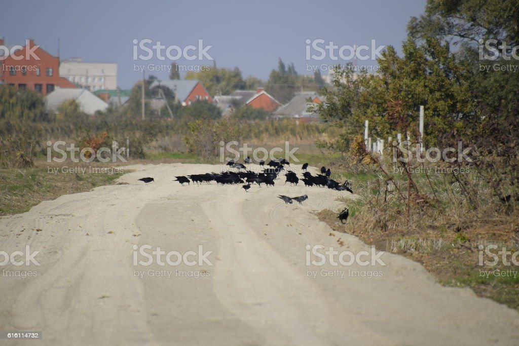 Ravens sitting on the road in the group stock photo