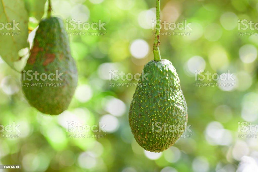 Raw avocado fruit hanging on tree branch stock photo