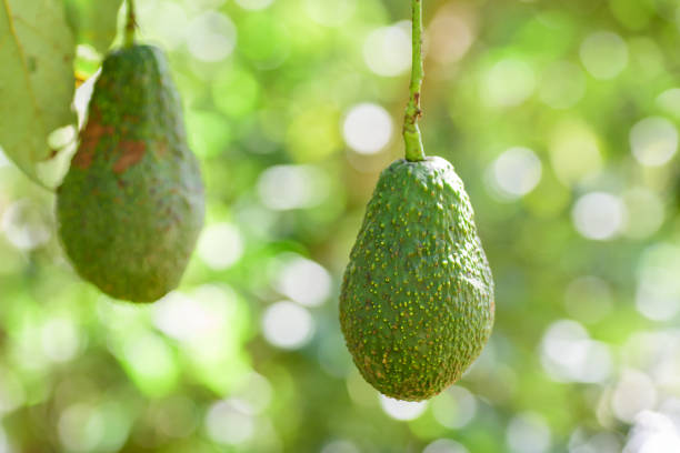 Raw avocado fruit hanging on tree branch stock photo