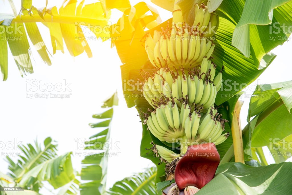 Raw Banana fruit with banana leaves in nature stock photo