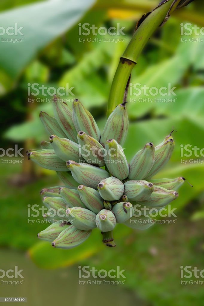 Raw Banana On The Tree In Thailand Stock Photo - Download