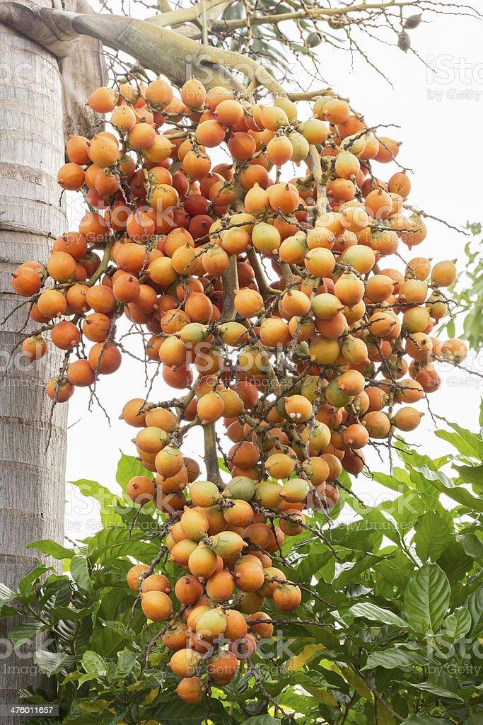 raw betel nuts tree stock photo