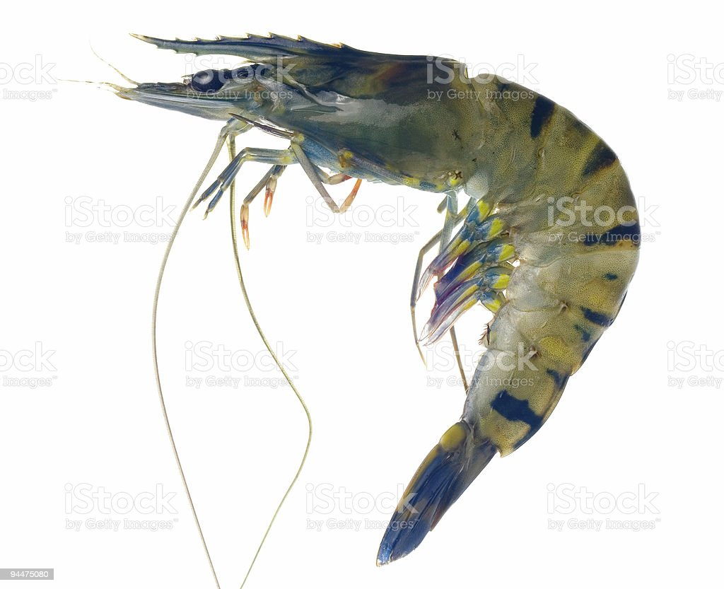 Raw black tiger prawn royalty-free stock photo