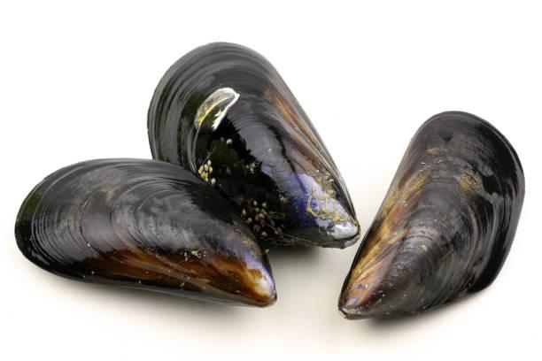 raw blue mussels on a white background - mięczak zdjęcia i obrazy z banku zdjęć