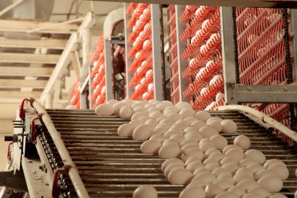 raw chicken eggs on a conveyor belt - eierverpackung stock-fotos und bilder