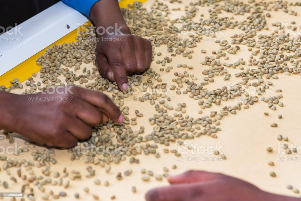 Raw Coffee Bean sorting and processing in a factory stock photo