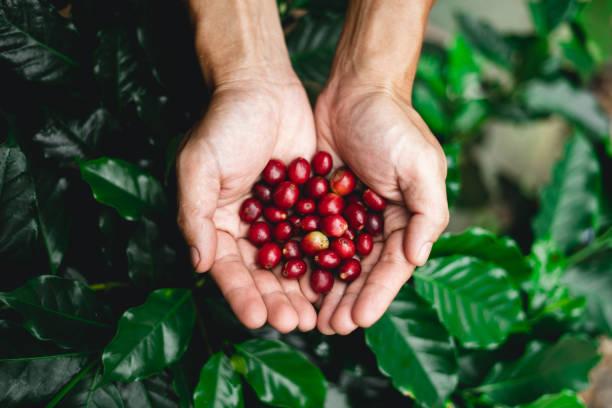 rohen kaffee rote bohnen in der hand in der natur - plantage stock-fotos und bilder
