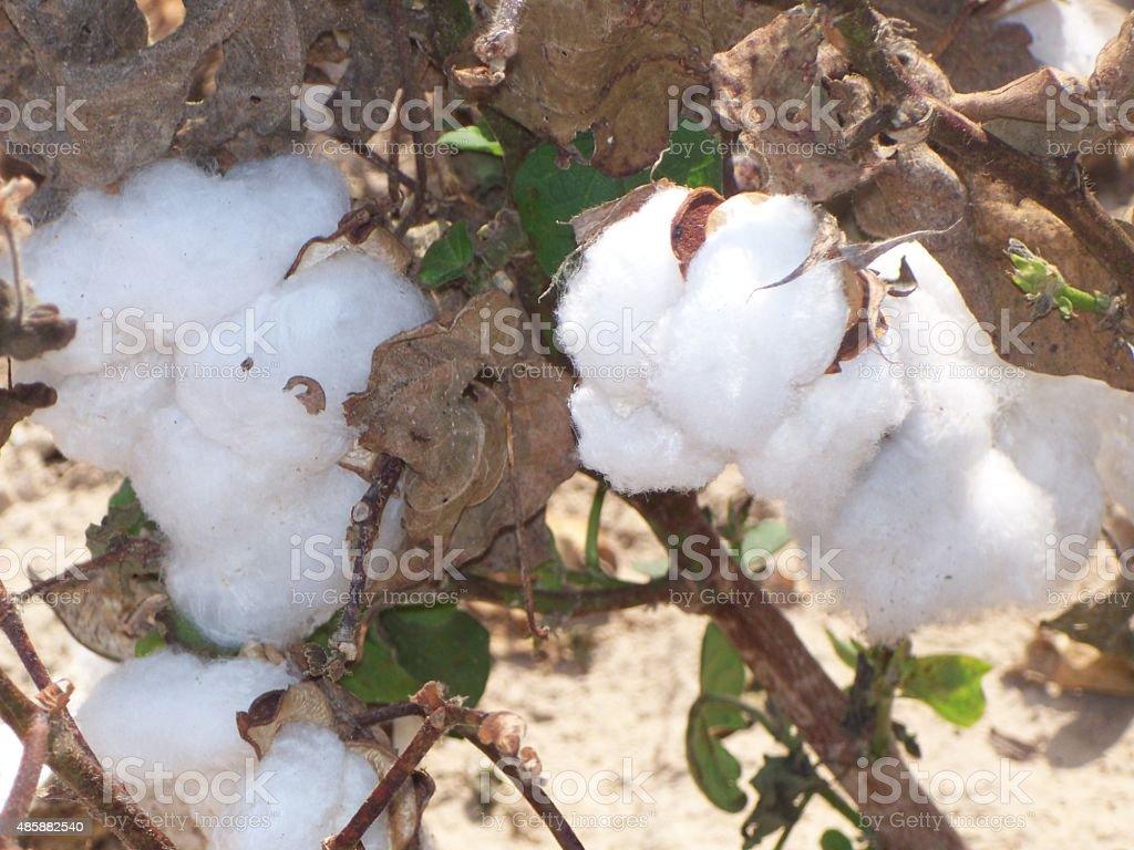 Raw Cotton stock photo