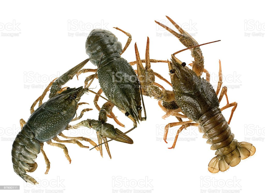 Raw crayfish royalty-free stock photo