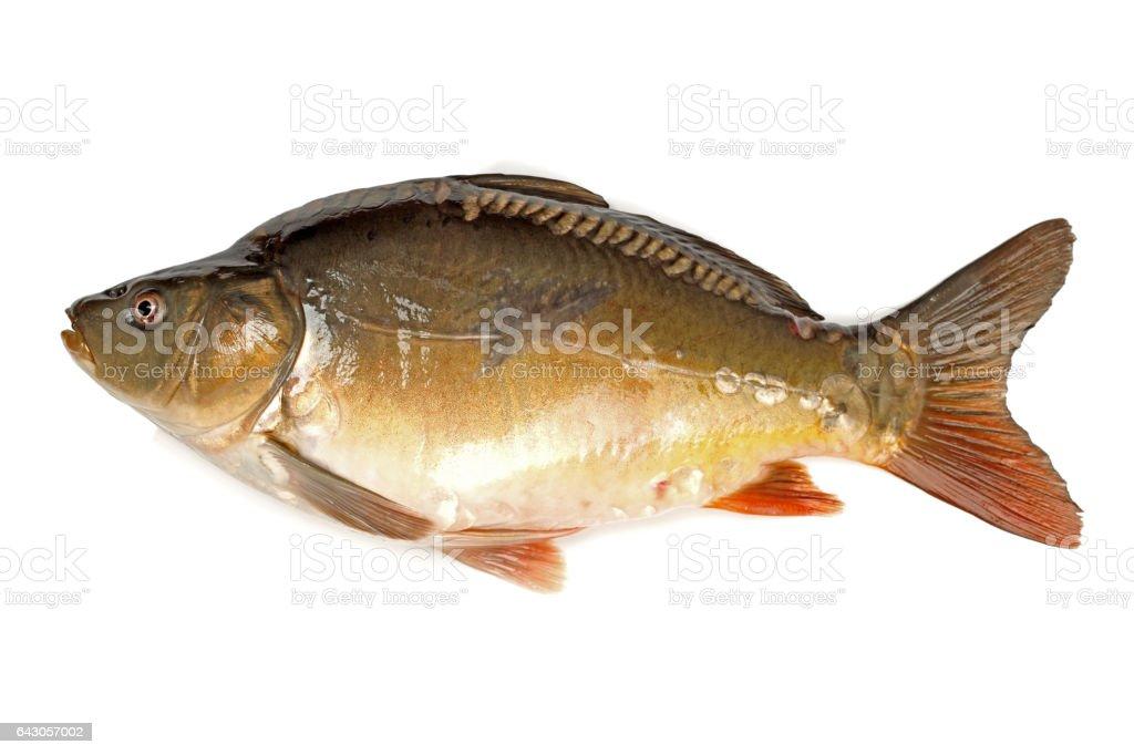 Raw fish carp on white background stock photo