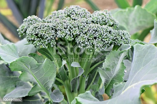 A side view of fresh organic green broccoli plant growing in a small farm vegetable garden. The raw food head is surrounded by the leaf stems with leek plants in the background.