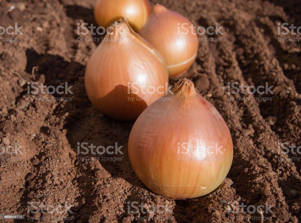 生金洋蔥 免版稅 stock photo