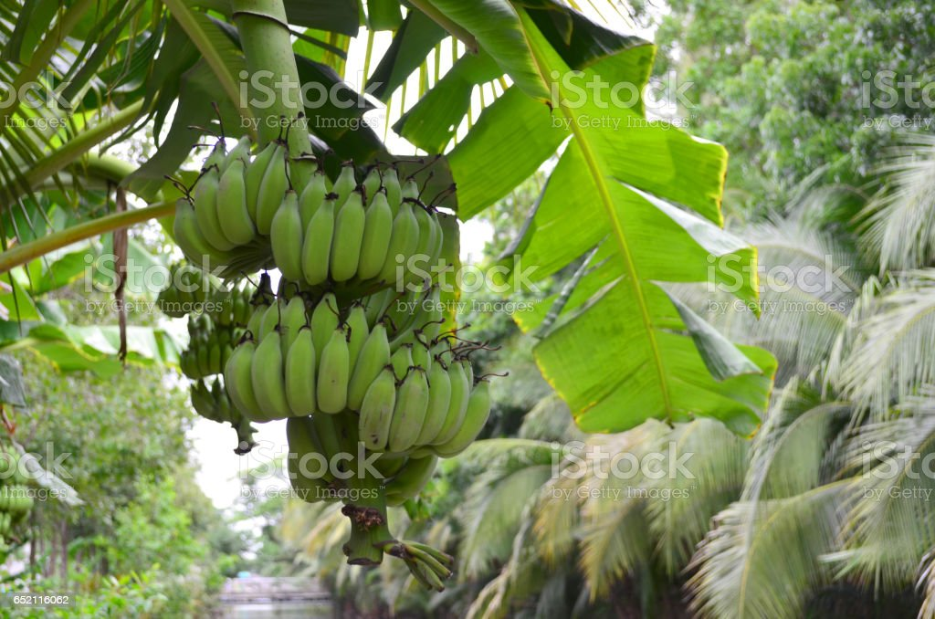 Raw green banana bunch in the garden – Foto